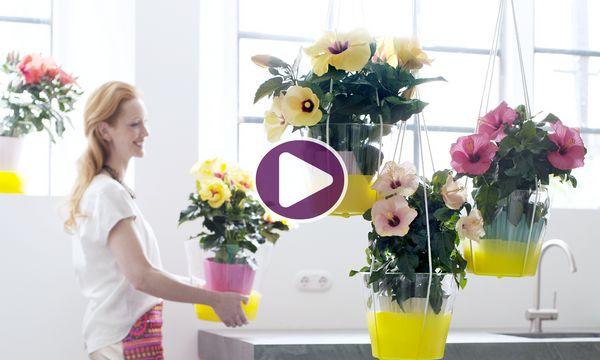 zimmerpflanze des monats mai der hibiskus veiling rhein maas. Black Bedroom Furniture Sets. Home Design Ideas