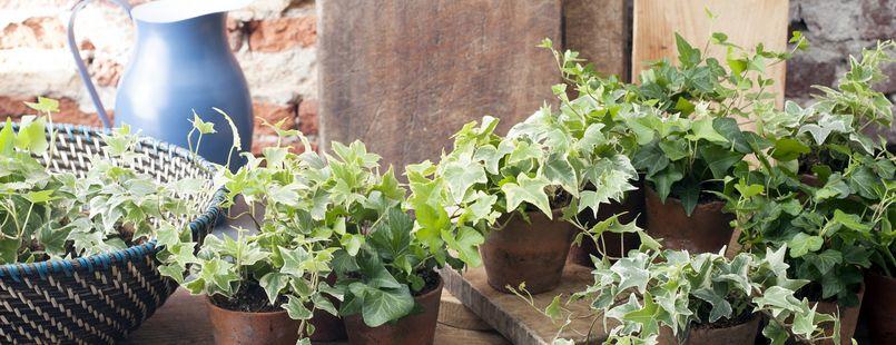 zimmerpflanze des monats april der efeu veiling rhein maas. Black Bedroom Furniture Sets. Home Design Ideas